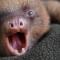 baby-sloth-yawning