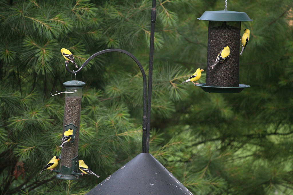 goldfinches-feeder